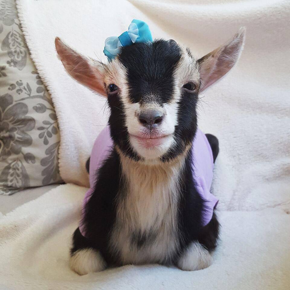 Кличка, подходящая для домашней козы
