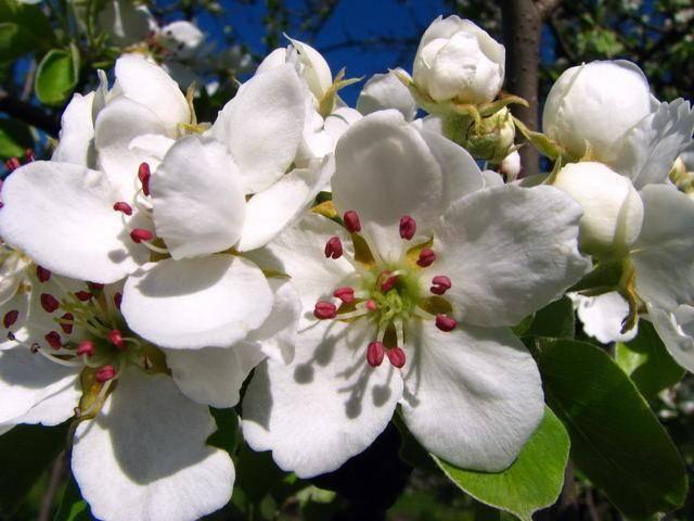 Урожайный и зимостойкий сорт груши «гера»: описание и фото