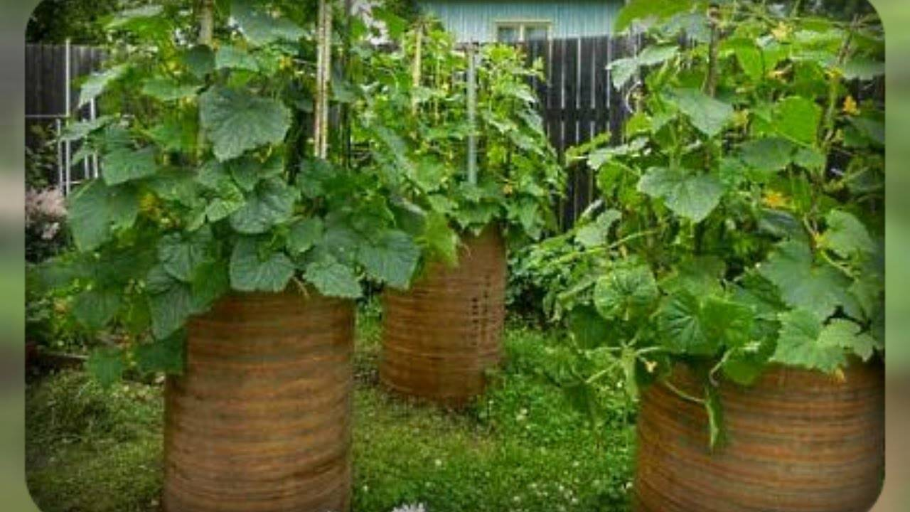 Огурцы в бочке - выращивание и уход, все плюсы и минусы