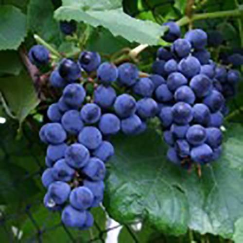 Виноград гелиос: описание сорта с характеристикой и отзывами, особенности посадки и выращивания, фото