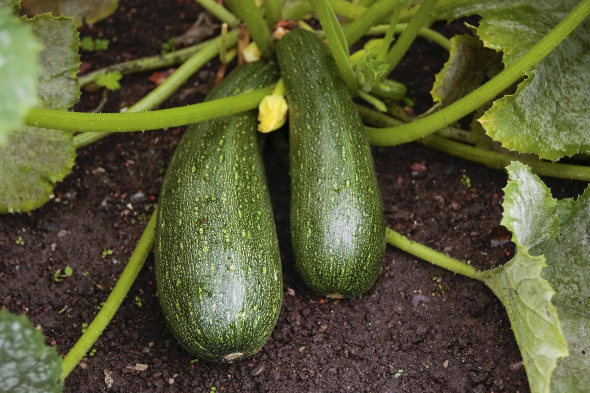 Правильное выращивание и уход за кабачками в открытом грунте, как увеличить урожай