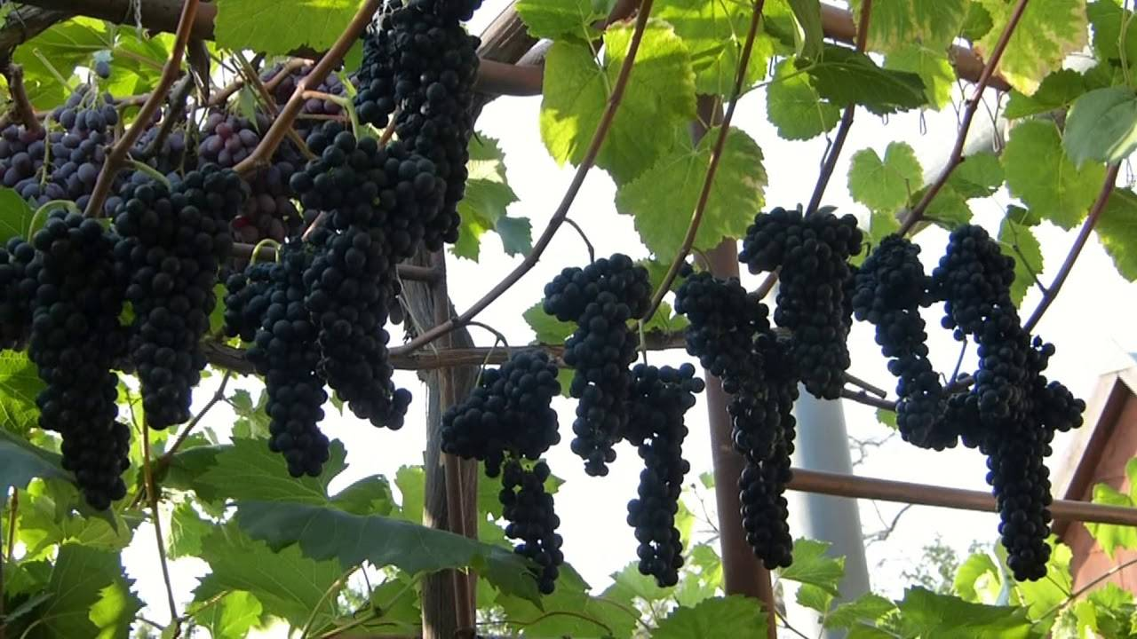 Виноград тайфи розовый: описание сорта, фото, отзывы