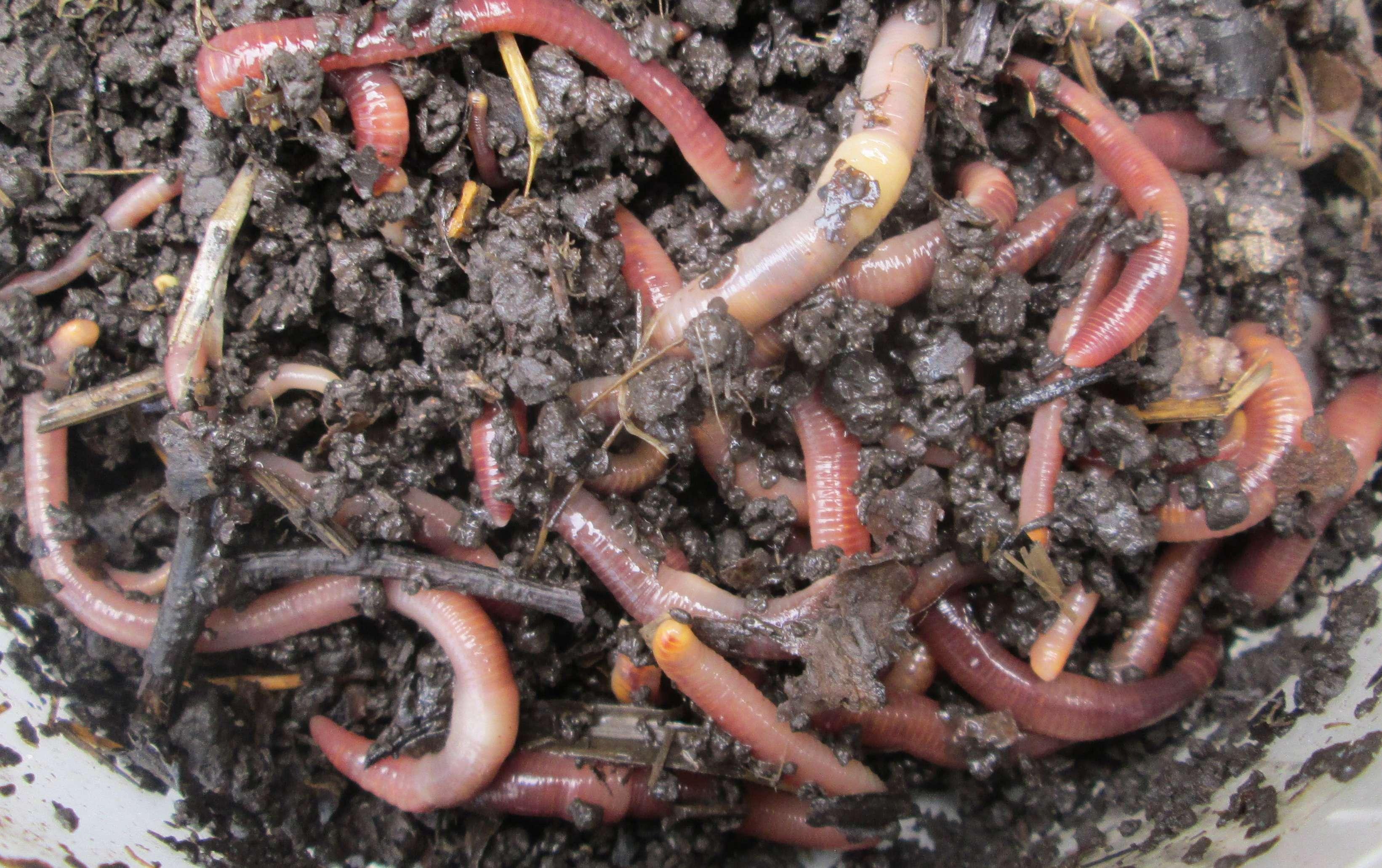 Чем отличается червь старатель от калифорнийского червя   ворми ферма