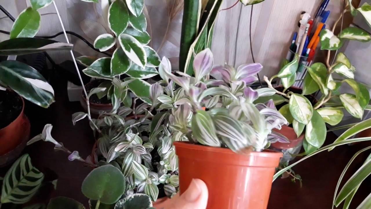 Пестролистные комнатные растения с названиями и фото