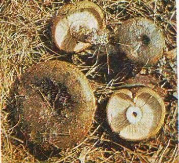Черный груздь - 83 фото гриба с удивительным цветом и формой