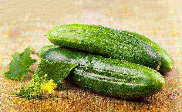 Огурцы «хрустящая грядка»: ценность сорта и советы по выращиванию