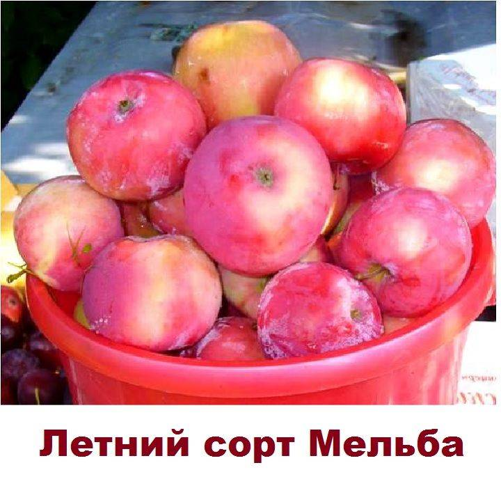 Сорт яблони антоновка: посадка и уход, описание, фото- и видеообзор