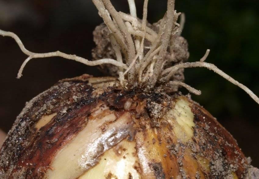 Луковая нематода - спасаем урожай