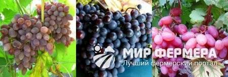 Выращивание винограда для домашнего бизнеса