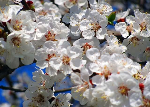 Сорта абрикоса для сушки: лучшие сорта для кураги и правила ее приготовления | огородники