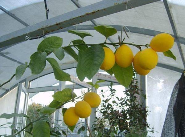 Лимон уход в домашних условиях выращивание из косточки рецепты