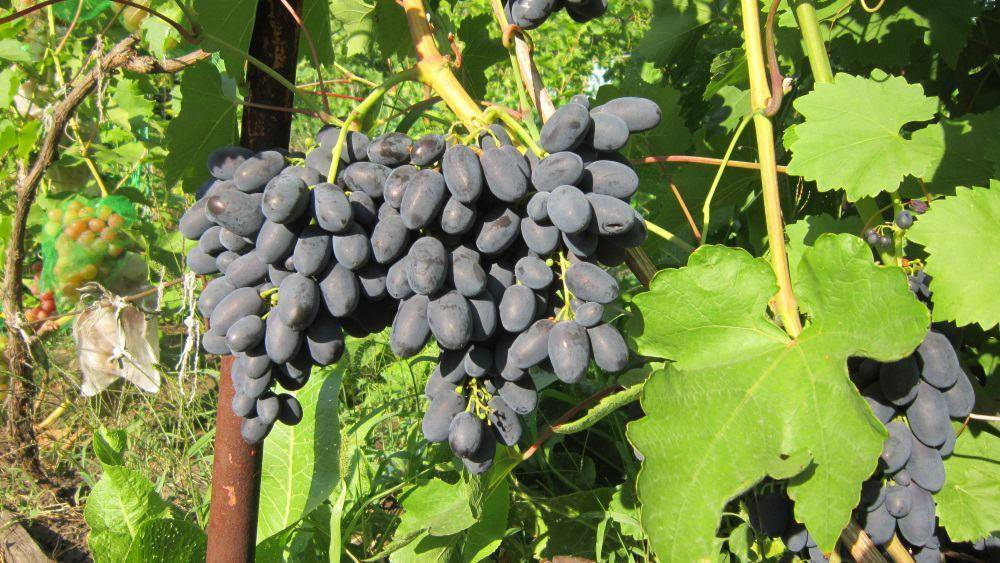 Виноград сорта кодрянка – желанный гость из молдавии на наших участках
