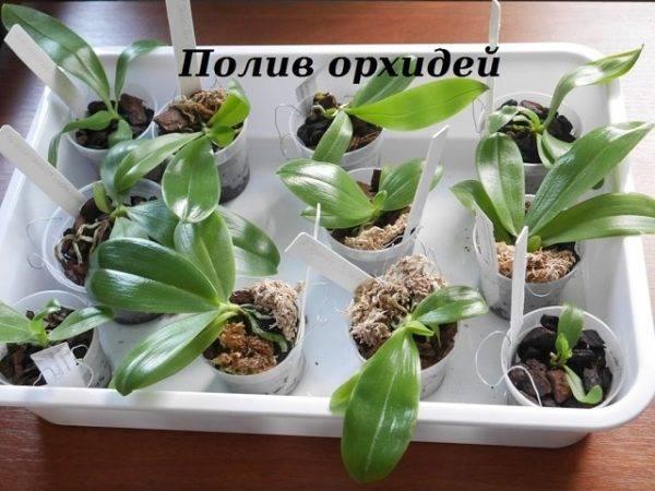 Уход за орхидеей камбрия в домашних условиях