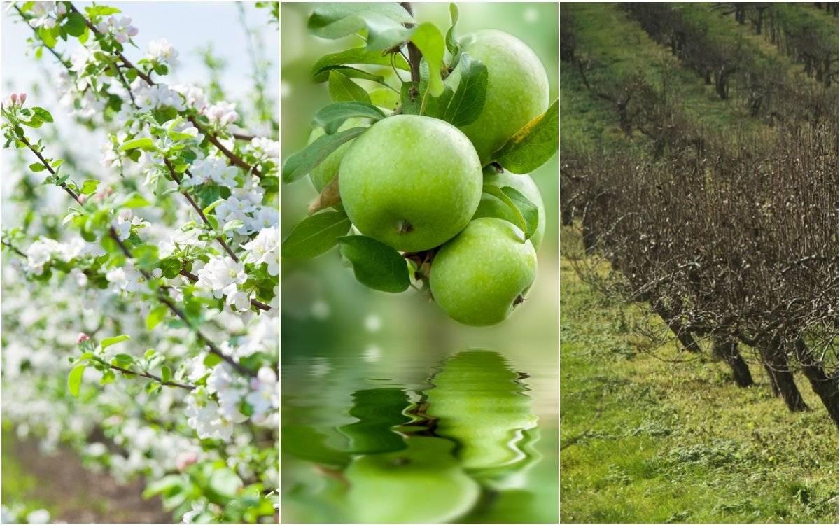 Как и когда подкармливать яблоню?