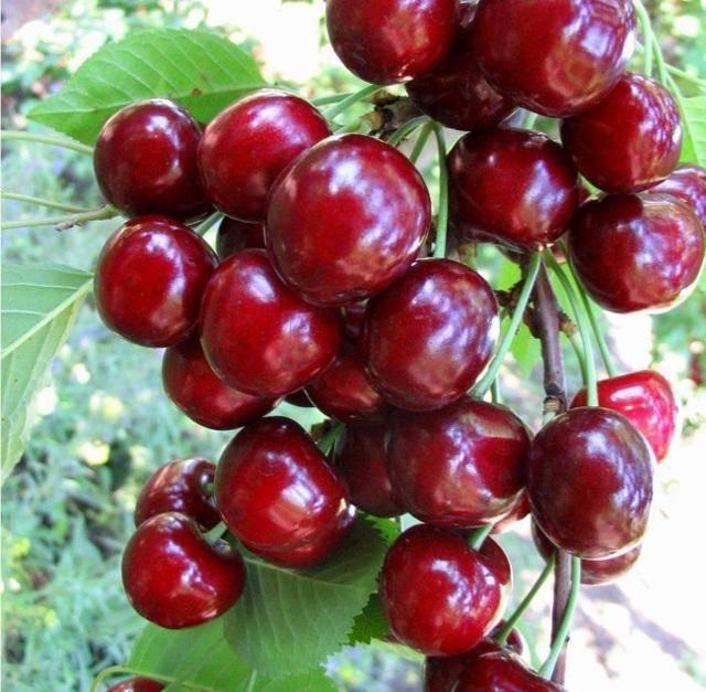 Черешня тютчевка: описание позднего сорта, выращивание, уход, отзывы, посадка, вкусовые качества, обрезка, подкормка плодового дерева