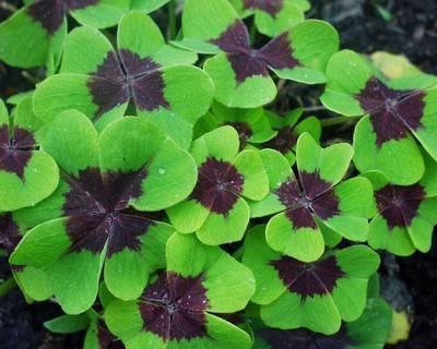 Заячья капуста (скрипун) – полезные свойства растения, его описание и фото