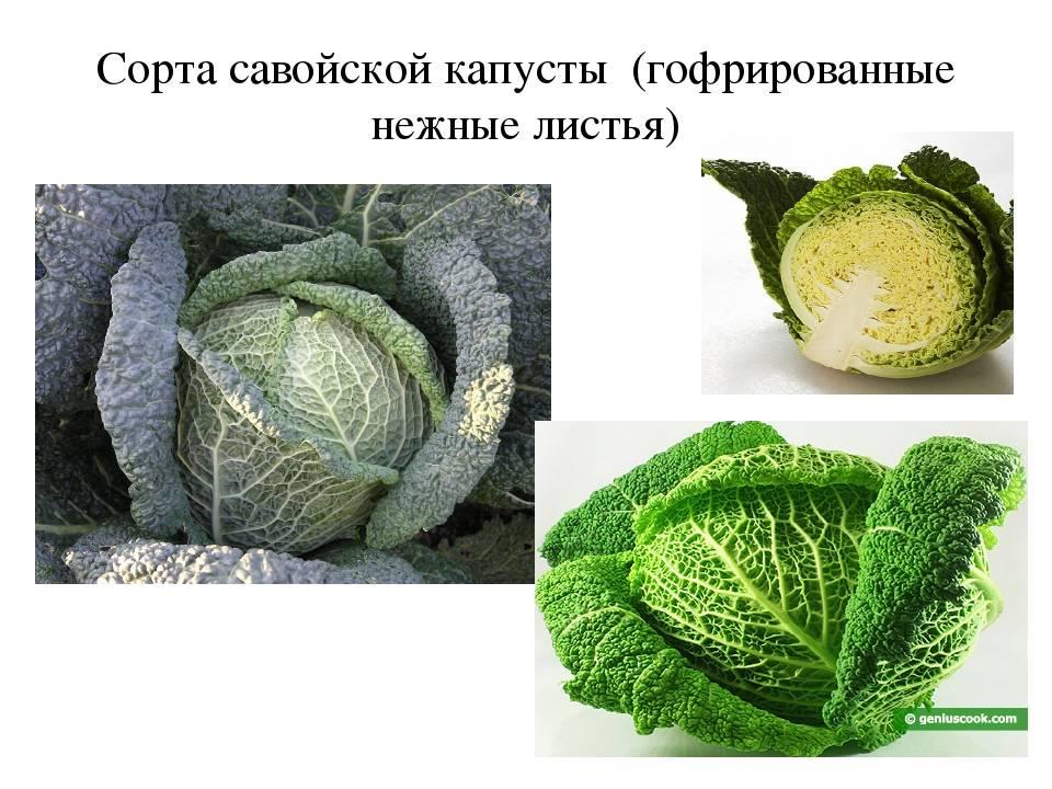 Виды и разновидности  капусты с фото и названиями
