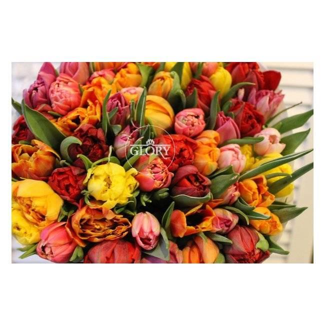 Пионовидные тюльпаны: описания сортов, особенности ухода и выращивания