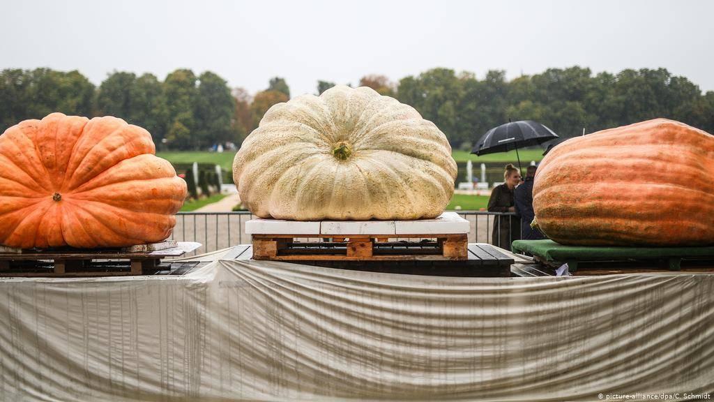 Самая большая тыква в мире: фото, сколько весит
