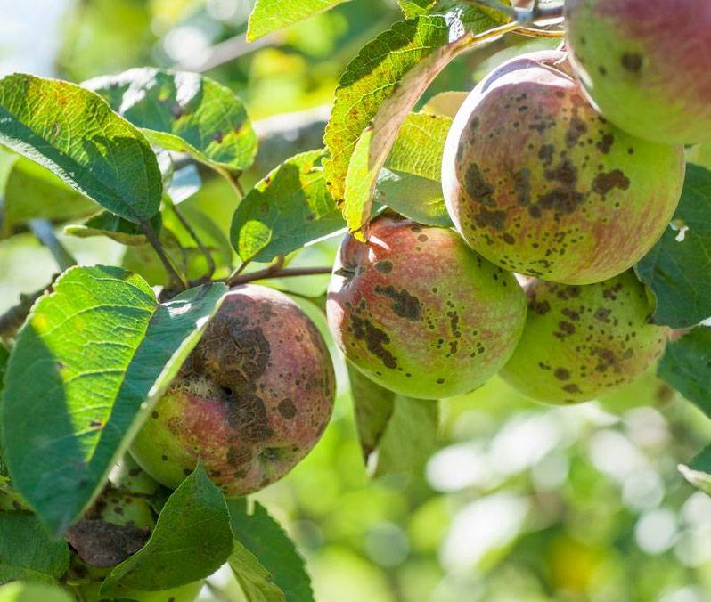Если появилась парша на яблоне, как с ней бороться и чем обрабатывать?