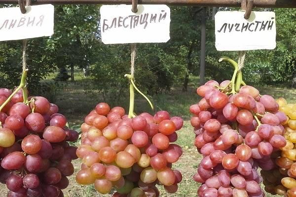 Блестящий виноград: описание и характеристики сорта, выращивание и уход с фото