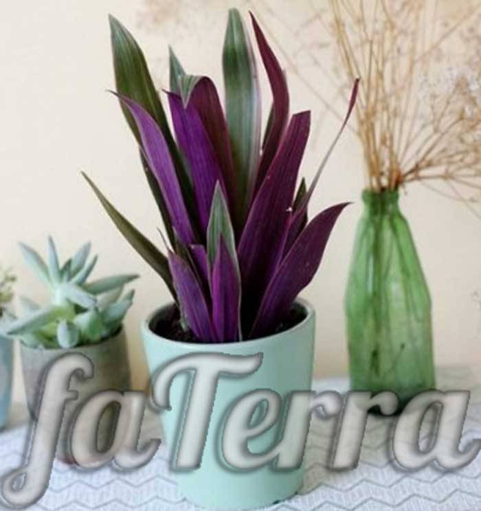 Традесканция рео: приметы и суеверия, связанные с цветком