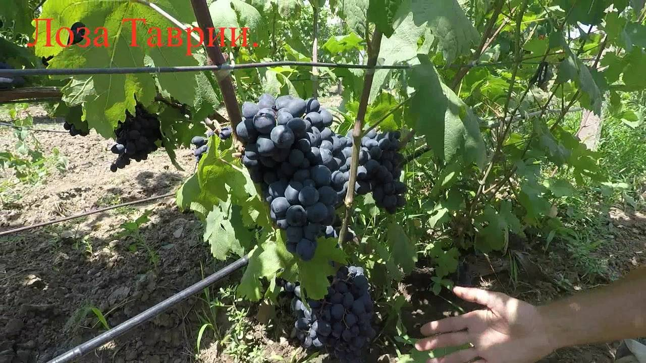 Виноград ромбик: описание сорта, фото, отзывы