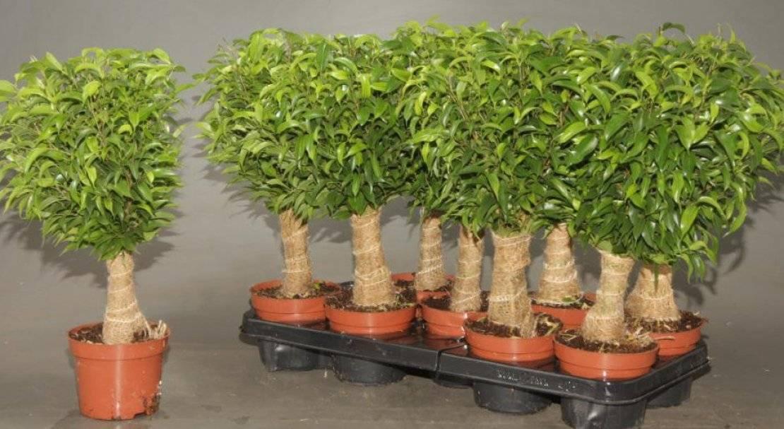 Фикус кинки: как хаживать за растением дома