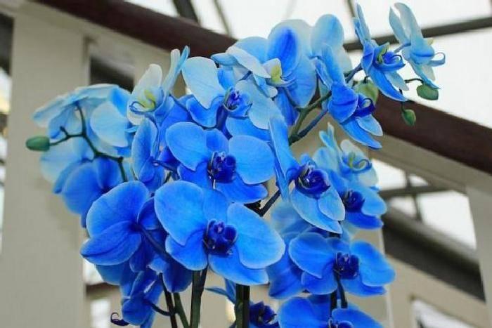 Синяя орхидея: описание и фото настоящего цветка в горшке, а также отзывы о нем и том, почему он стал белым; составление букета из веточек голубых фаленопсисов