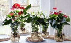 Антуриум — цветок с ярким характером