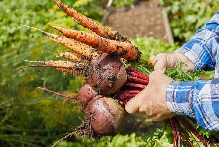 Подкормка моркови в открытом грунте народными средствами
