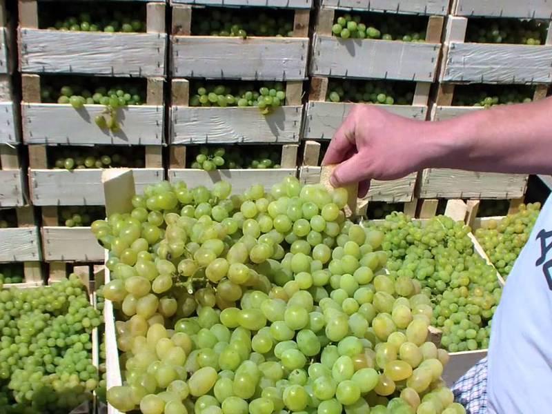 Виноград феномен: описание сорта, фото и отзывы садоводов
