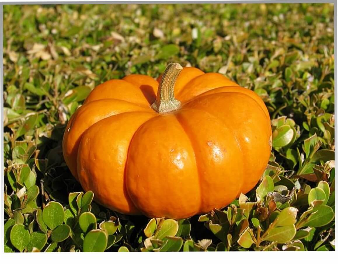 Тыква: посадка и уход в открытом грунте, выращивание и сбор урожая