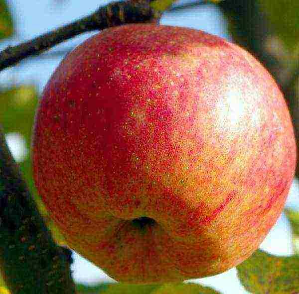 Яблоня дарья: особенности сорта и ухода