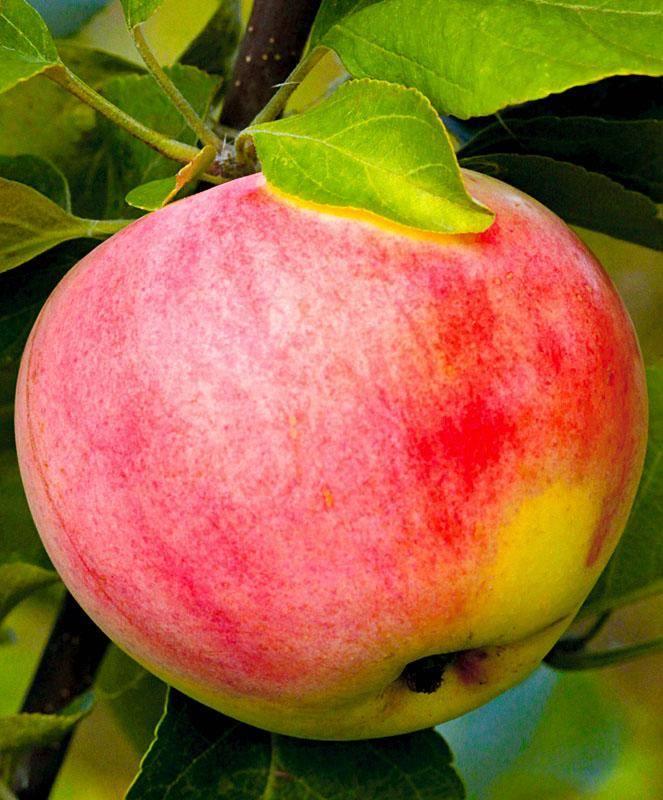 Сорта яблонь для урала с фото и описанием: лучшие зимние, карликовые и не только яблони уральской селекции