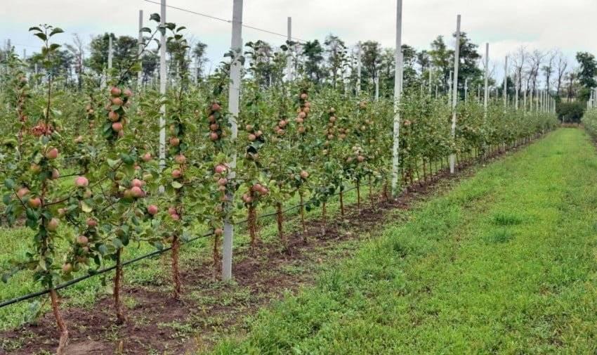 Сколько живет яблоня: жизненные циклы яблони и от чего это зависит