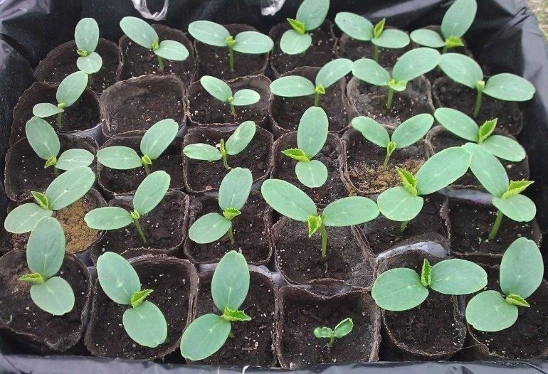 9 способов предпосевной подготовки семян огурцов для лучшего всхожести и отличного урожая