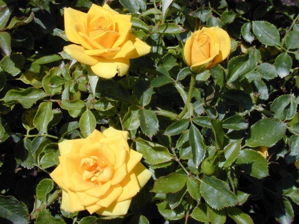 Уход за растениями: чем подкормить розы весной для пышного цветения в саду?