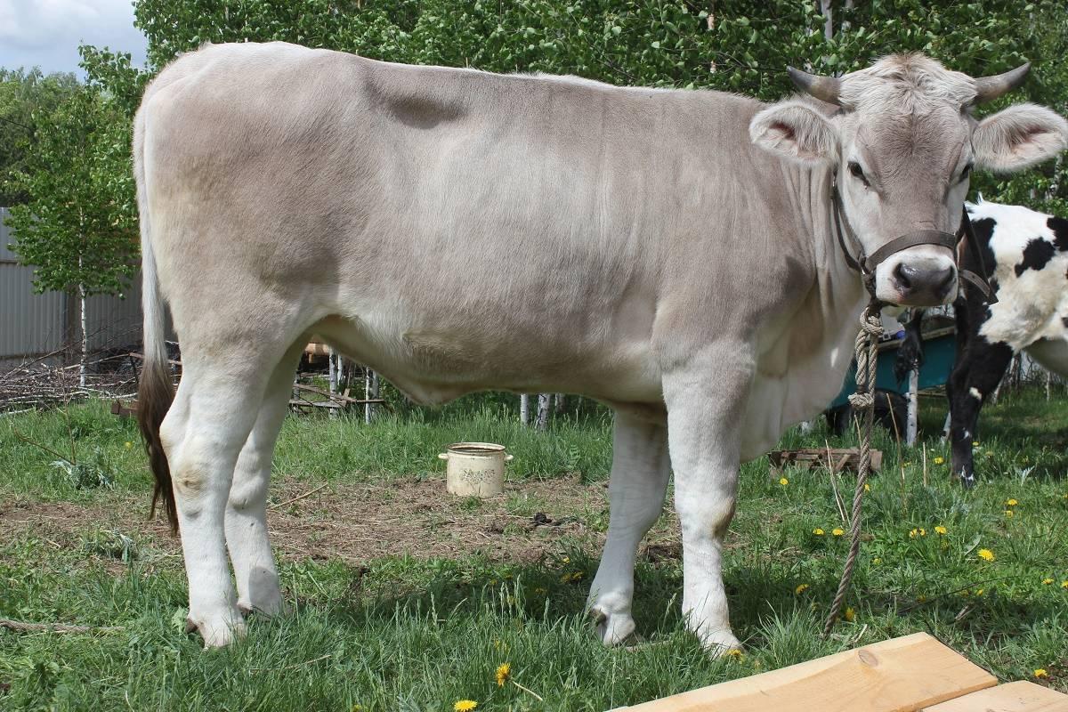 Симментальская порода коров - характеристика крс 2021
