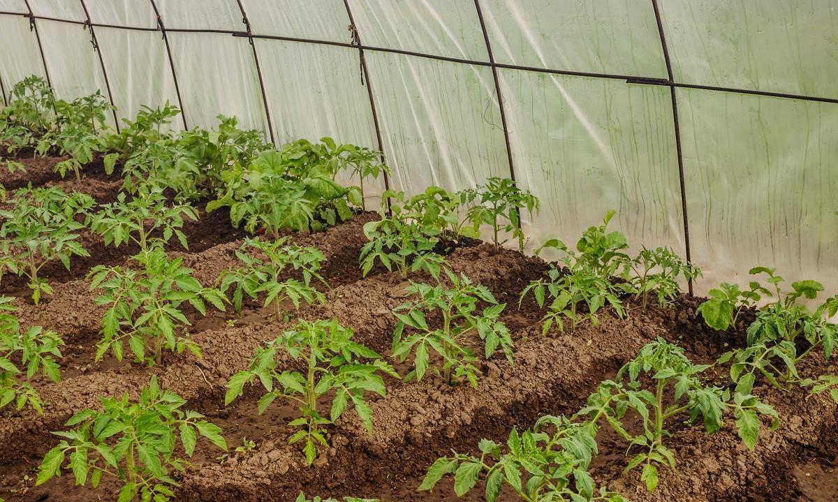 Высадка рассады помидор в теплицу и как правильно высадить рассаду