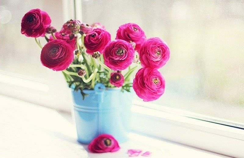 Выращивание цветка ранункулюс: как сажать, поливать, защитить от вредителей