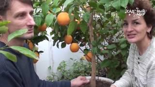 Апельсин - польза и вред для здоровья, состав и калорийность
