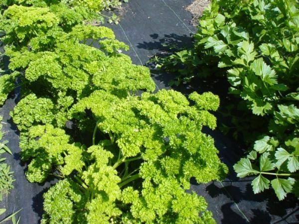 Выращивание петрушки в открытом грунте от посева до урожая