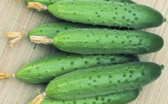 Огурец изящный: описание, выращивание, уход, фото