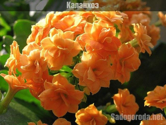 Фото различных видов каланхоэ с названиями и описанием