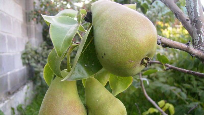 Зимостойкий сорт с долгим сроком хранения — груша «декабринка»