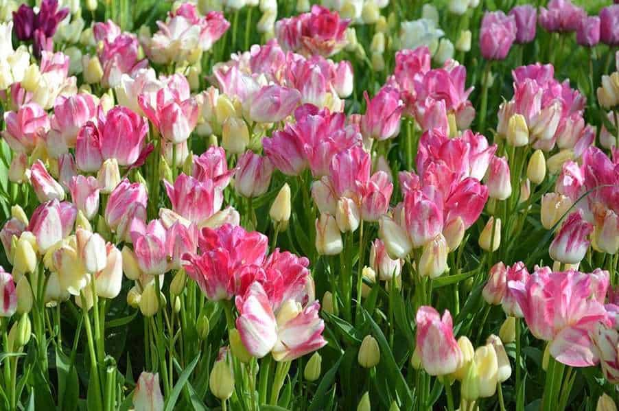 Тюльпан мороженое фото цена — огород и прочее