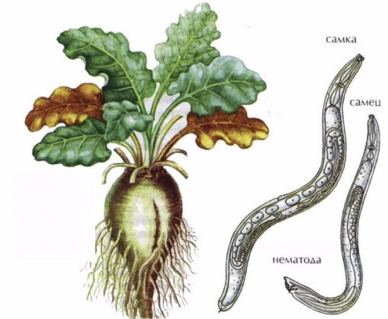 Нематода луковая: описание, основные виды