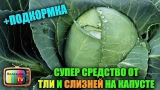 Как избавиться от вредителей капусты без химии: народные рецепты для защиты капусты