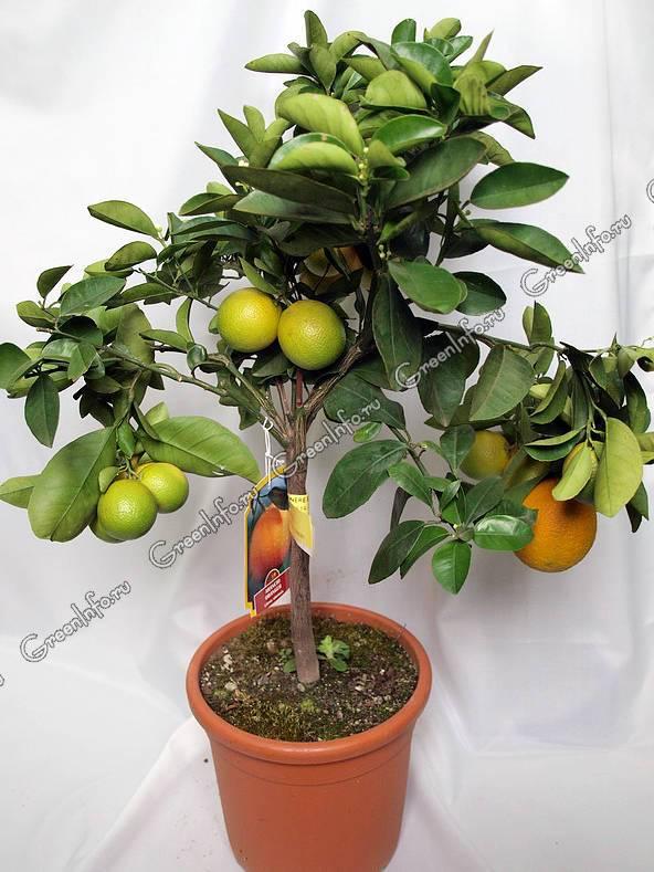 Цитрусовые комнатные растения - фото и описание, посадка и уход в домашних условиях